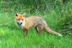 Startled fox. A cunning and surprised wild fox Royalty Free Stock Photography