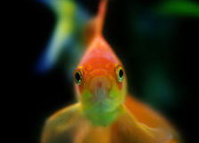 Startled goldfish Royalty Free Stock Photography