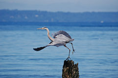 Startled Great Blue Heron taking flight Stock Image