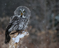 Startled Great Grey Owl. A startled Great Grey Owl (Strix nebulosa) perched on a stump with snow falling in the background stock images