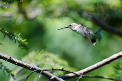Startled Hummingbird Royalty Free Stock Photos