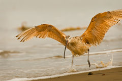 Startled Long Billed Curlew Stock Images