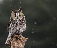 Startled Long-eared Owl Royalty Free Stock Photography