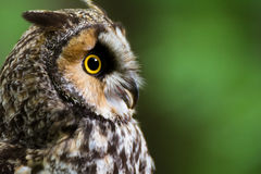 Startled long-eared owl. A closeup of a long-eared owl with a startled expression Royalty Free Stock Image