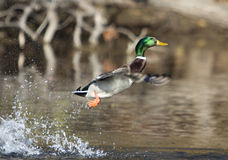 Startled Mallard Duck. A mallard duck taking off with a splash Royalty Free Stock Photos