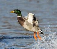 Startled Mallard Duck. A mallard duck taking off with a splash Royalty Free Stock Photography