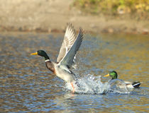 Startled Mallard Duck. A mallard duck taking off with a splash Royalty Free Stock Image