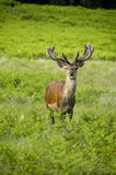 Startled Red Deer. Male red deer standing in bracken Stock Photos