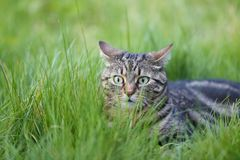 Startled tabby cat in the grass stock images