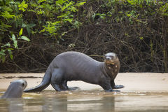 Startled Wild Female Giant Otter and friend on Beach by Jungle Stock Images