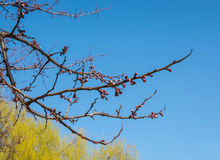 Starts blooming tree branch Stock Photo