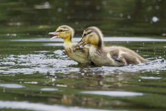 It Starts Early. These mallard ducklings are having an early territorial dispute Royalty Free Stock Photo