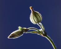 Startwert für Zufallsgeneratorhülse der Blume Silene Lizenzfreies Stockbild