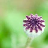 Startwert für Zufallsgeneratorkapseln auf Mohnblumeblume Stockbild
