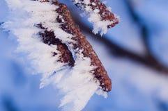 Startwerte für Zufallsgenerator der Erle mit Frost Lizenzfreie Stockfotografie