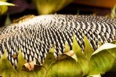 Startwerte für Zufallsgenerator der Sonnenblume Stockbild