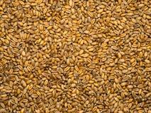 Startwerte für Zufallsgenerator des Weizens Lizenzfreies Stockfoto