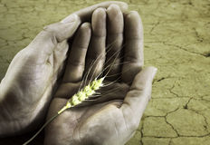 Starvation. Hunger starvation problem on the earth with wheat and caring hands Royalty Free Stock Photography