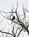 Starved Rock State Park Bald Eagle #5. This is a Winter picture of a Bald Eagle who is perched in a tree in Starved Rock State spark located in Utica, Illinois royalty free stock photos