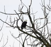 Starved Rock State Park Bald Eagle #3. This is a Winter picture of a Bald Eagle who is perched in a tree in Starved Rock State spark located in Utica, Illinois stock photo