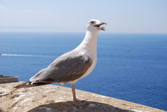 Starverd gull. One beauty gull with opened spout white his prey on a wall near the mediterranean sea Stock Photography