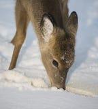 Starving deer Royalty Free Stock Image