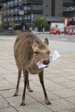 A starving deer on Miyajima island Royalty Free Stock Images