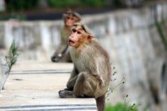 Starving Monkeys Royalty Free Stock Photography