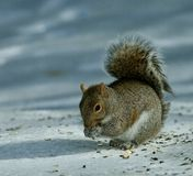 Starving squirrel Stock Photo