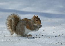 Starving squirrel Stock Images
