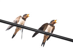 Starving swallow Stock Image
