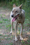 A  starving wolf Royalty Free Stock Images