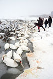 Starwing swans feed by people stock photos