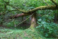 Stary łamający świerkowy drzewny mech zawijający i fiszorek fotografia royalty free