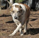 Stary Środkowy Azjatycki Pasterski pies Obraz Stock