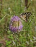Stary Świat Swallowtail na oset roślinie Zdjęcia Stock