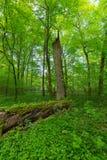 Stary świerkowy drzewny fiszorek w lata świetle słonecznym z świeżą zielenią wokoło Zdjęcia Stock
