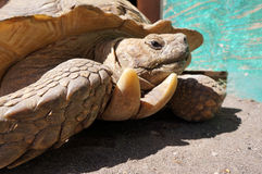 Stary żółw Zdjęcie Royalty Free