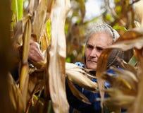 Stary żeński rolnik przy kukurydzanym żniwem Zdjęcie Stock