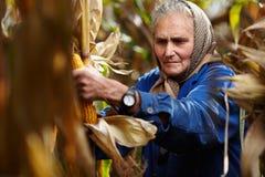 Stary żeński rolnik przy kukurydzanym żniwem Fotografia Stock