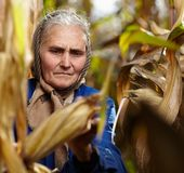 Stary żeński rolnik przy kukurydzanym żniwem Fotografia Royalty Free