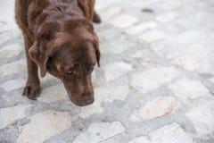 Stary bijący pies unika kontakt wzrokowego z niewiadomym nieznajomym obrazy stock