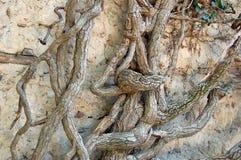 stary bluszcza drzewo Fotografia Royalty Free
