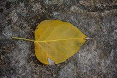 Stary Bo leaf Fotografia Stock