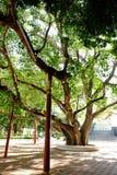 Stary Bohhi drzewo przy Suphanburi - Zdjęcie Stock