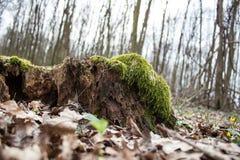 Stary brązu gnicia fiszorek z mech w jesień lesie fotografia royalty free