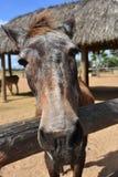 Stary Brown koń Z udziałami bokobrody na Jego nos obrazy royalty free