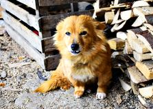Stary Brown Psi Odpoczywać Zdjęcia Royalty Free