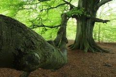 Stary buk w lesie zdjęcie stock