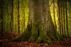 Stary bukowy drzewo Zdjęcie Royalty Free